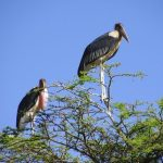 The marabous like to sit on the trees, especially very high and they have their sleeping places there, too