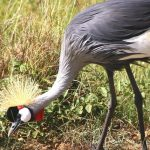 The crowned cranes are mostly to be seen as a couple, in the parks of Kenya, Africa