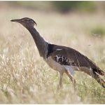 https://thewildernessalternative.com/2013/12/27/birds-of-kenya/kenya-birds-3/