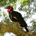 One of the hornbill kinds in Kenya