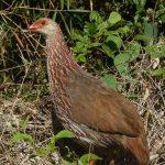 https://topbirdingtours.com/jacksons-francolin-one-of-many-mount-kenya-birds/
