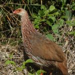 https://topbirdingtours.com/jacksons-francolin-one-of-many-mount-kenya-birds/
