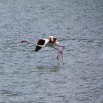 Flamingos starting to fly at Lake Bogoria in Kenya