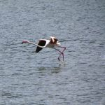 Flamingos starting to fly at Lake Bogoria in Kenya