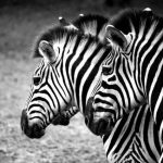Zebra's stripes are vertical on the neck, head, forequarters, and main body and horizontal on the legs and at the rear