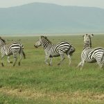 The predators of a zebra cannot see well at a distance, especially at night