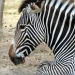 Plains zebras are much more plentiful than other species of zebras
