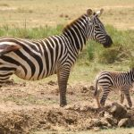 Quagga is a type of plains zebra