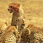 Cheetahs belong to the subfamily Felinae