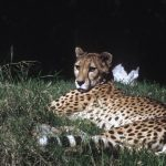 Last significant population of cheetahs remain in Southern and East Africa and are represented by different subspecies