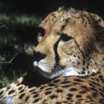 Last significant population of cheetahs remain in East and Southern Africa and are represented by different subspecies