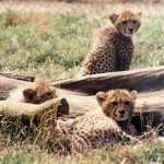 The cheetahs swim across rivers
