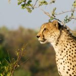 Global wild cheetah population is estimated to be 7,500 wherein the East and South African population of cheetahs are represented by different subspecies