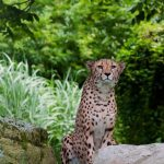 Over the years cheetahs have greatly reduced in numbers due to human population increase