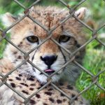 Over the years cheetahs have greatly reduced due to an increase in the human population that has led to habitat loss