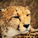 Over the years cheetahs have greatly reduced due to diseases