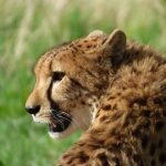 Over the years cheetahs have greatly reduced due to poorly managed tourism