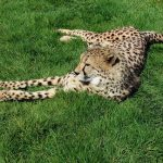 Over the years cheetahs have greatly reduced in numbers due to an increase in the human population that has led to habitat loss, and a reduction in prey base