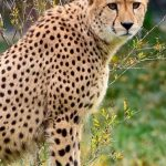 Over the years cheetahs have greatly reduced due to an increase in the human population that has led to habitat loss, a reduction in prey base and conflicts with people