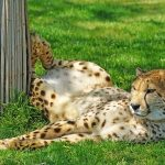 Over the years cheetahs have greatly reduced due to human population increase, a reduction in prey base, and diseases