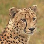 Over the years cheetahs have greatly reduced due to human population increase that has led to habitat loss, a reduction in prey base, diseases and poorly managed tourism