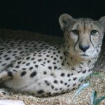 The cheetahs don't avoid water but swim across rivers