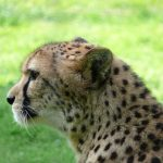 It is estimated that the population of cheetah have declined by 30% during the last 18 years primarily due to anthropogenic factors