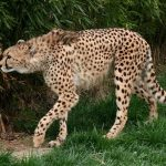 The population of cheetah have declined by 30% during the last 18 years due to anthropogenic factors