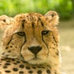 To see the cheetahs whilst on safari is a privilege