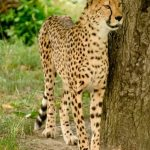 The cheetah is amongst the most elusive of African animals