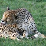 The cheetah does not avoid water but swims across rivers