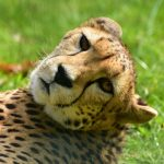 Cheetah is amongst the most beautiful and elusive of African animals