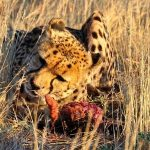 Cheetahs are amongst the most beautiful as well as elusive of African animals