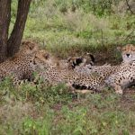 Cheetahs hunt alone or in group