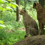 Cheetahs use a slow-speed hunt or full-speed-chase