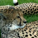 The cheetah uses a slow-speed hunt or full-speed-chase