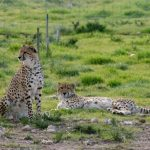 There were 15,000 number of cheetahs in Africa during the 1970s