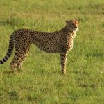 The global wild cheetah population is 7,500