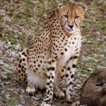 Globally wild cheetah population is estimated to be 7,500