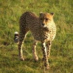 Wild cheetah population is estimated to be 7,500 globally