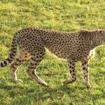 Wild cheetah population is estimated to be 7,500 worldwide