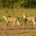 World-wide cheetah population is estimated to be 7,500