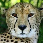 Cheetah population is estimated to be 7,500 world-wide