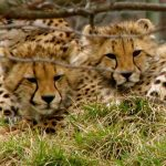 Population of cheetah is estimated to be 7,500