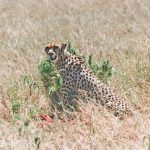 Cheetah in the Masai Mara, Africa, 1995. Analogue Film Shot, scanned.