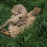 The world-wide population of cheetah is estimated to be 7,500