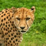 The global population of cheetah is estimated to be 7,500