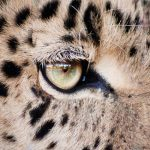 The South and East African population of cheetahs are represented by different subspecies