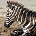 Quagga Project breed zebras that are similar to the quagga