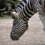 Hunting and habitat destruction has severely impacted zebra population